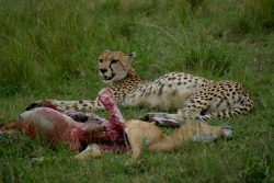 Diet and Hunting - Cheetahs